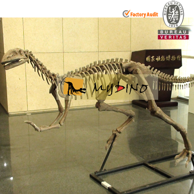 Indoor Dinosaur Exhibition Museum Replica Yandusaurus Skeleton