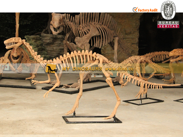 Coelophysis Outdoor Simulation Fossil Skeleton