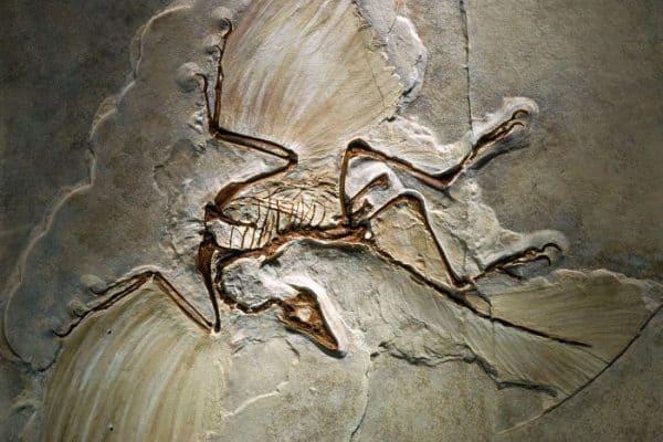 3 Archeopteryx fossils