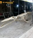 8m blue whale skeleton 2