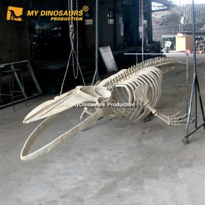 8m blue whale skeleton