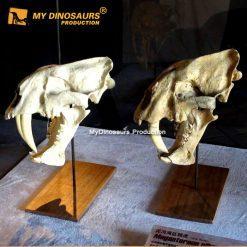 Animal skulls smilodon 1