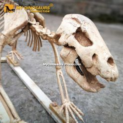 Cave bear skeleton 2
