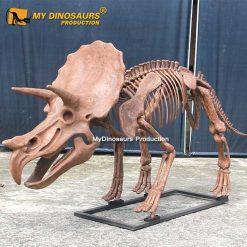 3M triceratops skeleton