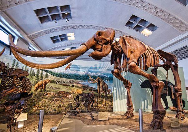 Columbian mammoth (Mammuthus columbi)