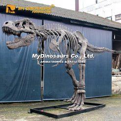Complete T rex skeleton 3
