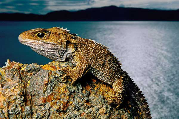 How Did the Tuatara Survive From the Dinosaur Age 1