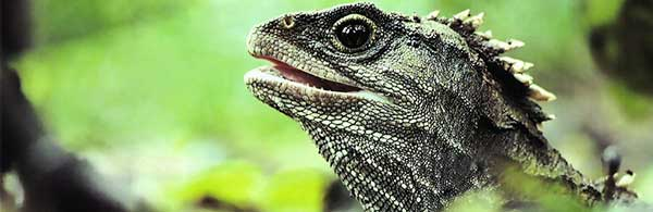 How Did the Tuatara Survive From the Dinosaur Age
