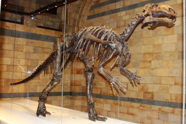 Iguanodon fossil