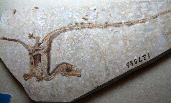 Maiasaura fossil