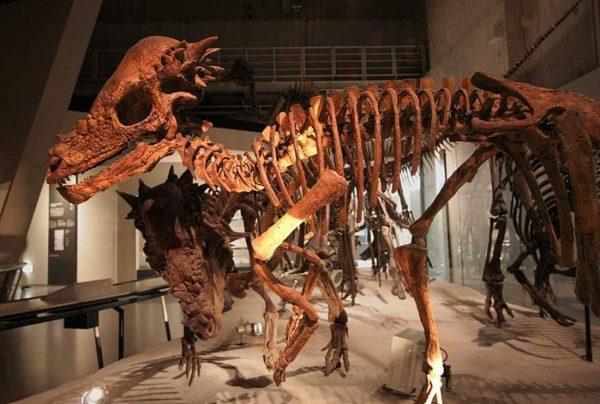 Pachycephalosaurus 1